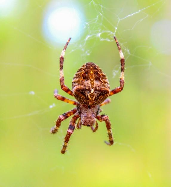Spin in het bos zittend op zijn web prooi te wachten Premium Foto