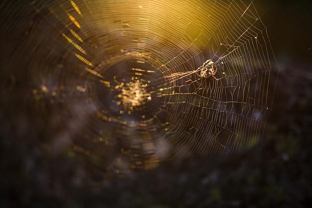 Spin op een web in de zon, in het bos Premium Foto