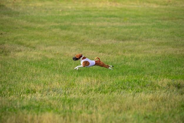 Sportieve hond die presteert tijdens het coursing in competitie. Gratis Foto