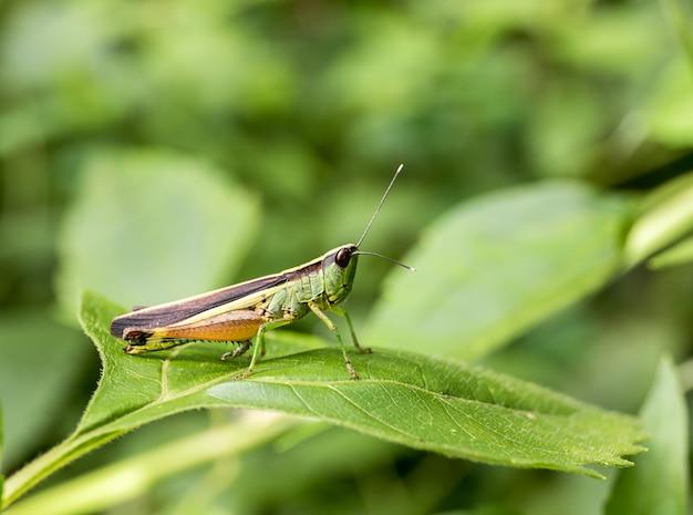 Sprinkhaan op groen blad in het bos Premium Foto