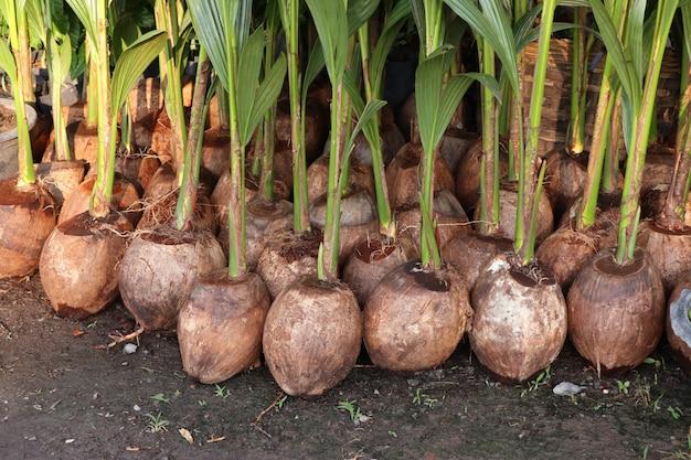 Spruit van kokospalm Premium Foto