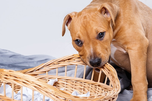 Staffordshire terriër puppy en rieten mand Premium Foto