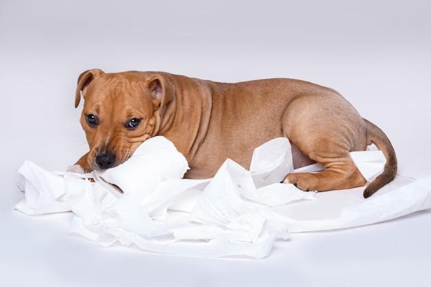 Staffordshire terriër puppy en rol wc-papier Premium Foto