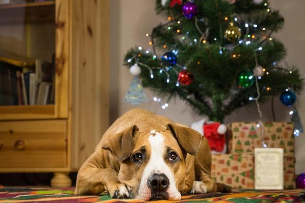 Staffordshire terriërhond die op tapijt in dront van kerstmisboom liggen Premium Foto