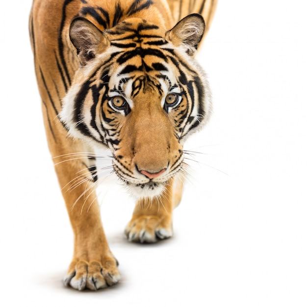 Stalking siberische tijger Premium Foto