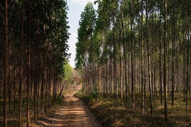eucalyptusbomen