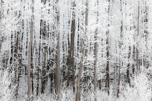 Stammen en takken van loofbomen bedekt met grote witte kristallen van ijs, sneeuw en rijp in de ochtend, het winterlandschap in het loofbos Premium Foto