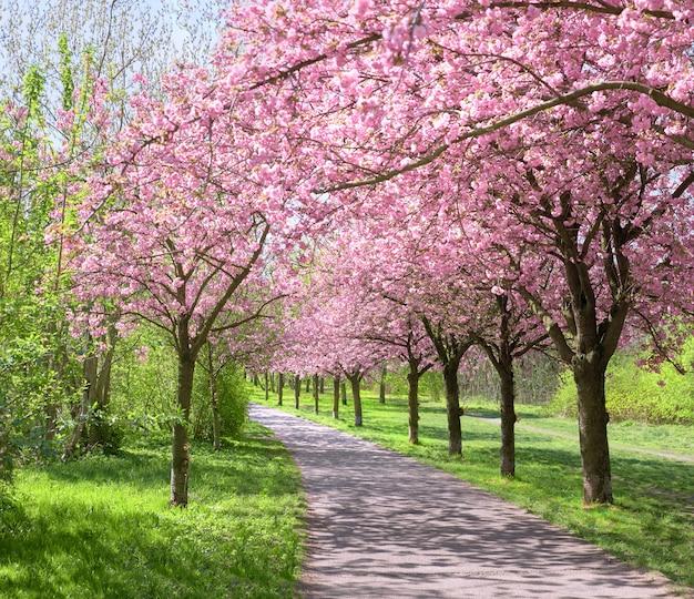 Steeg van bloeiende kersenbomen die het pad van de voormalige muur in berlijn volgen Premium Foto