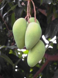 Stelletje mango's Gratis Foto
