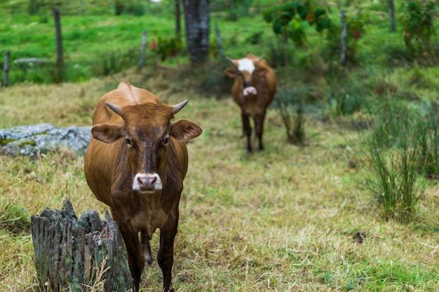 Stieren die op een boerderij rusten Premium Foto