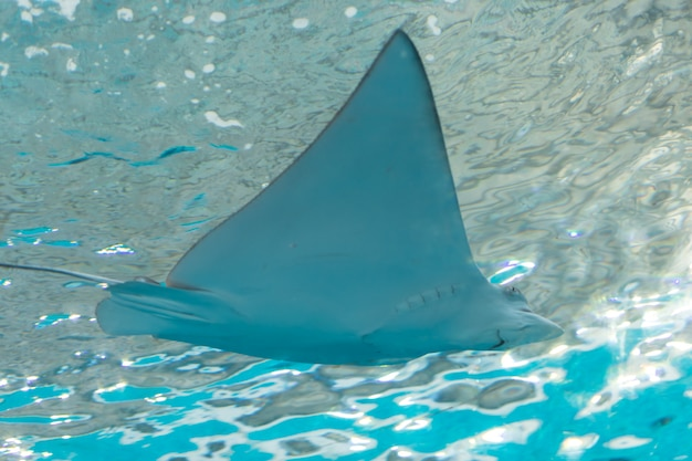 Stingray in de zee Premium Foto