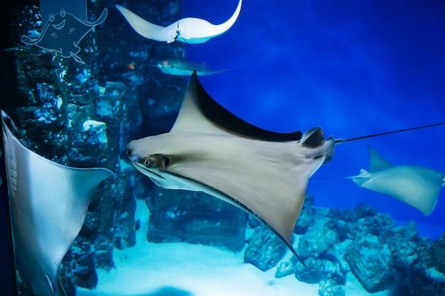 Stingray vis zwemt langzaam in een glazen aquarium Premium Foto