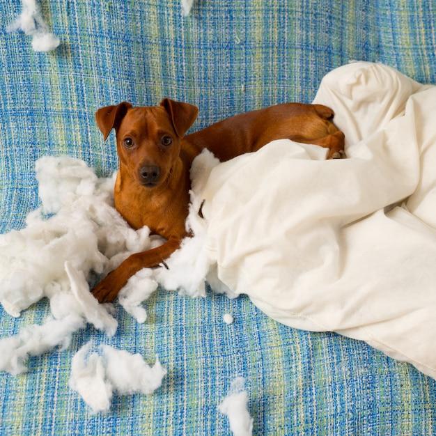 Stoute speelse puppyhond na het bijten op een kussen Premium Foto