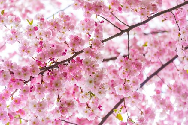 Strooi tijd, tak van sakurabloemen Premium Foto