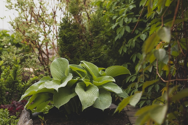 Struik van blauwe hosta bedekt met dauw. Premium Foto