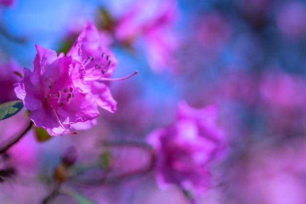 Struik van bloeiende azalea's tegen een achtergrond van bomen in een blauwe nevel. Premium Foto