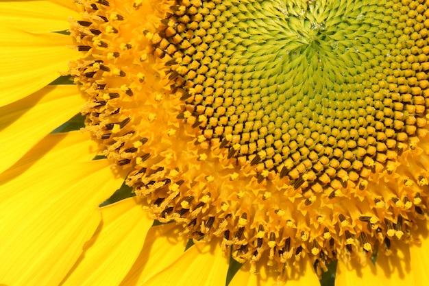 Struik van de close-up het gele zonnebloem Premium Foto