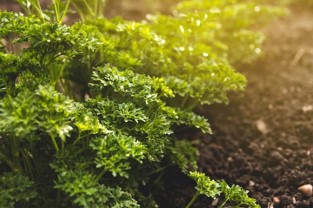Struiken van verse sappige peterselie in de tuin. krullende peterselie. Premium Foto