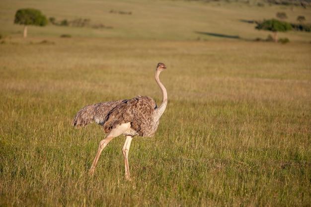 Struisvogel die op savanne in afrika loopt. safari. kenia Gratis Foto