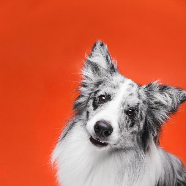 Studio die van leuke border collie-hond is ontsproten Gratis Foto