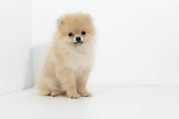 Studioportret van de hond pomeranian Premium Foto