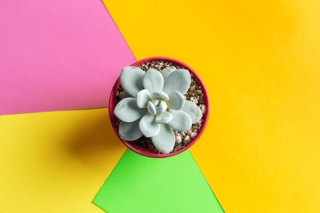 Succulente bloem op fel gekleurde achtergrond plat lag, bovenaanzicht Premium Foto