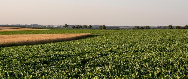 Suikerbieten en granen veld in de zomer Premium Foto