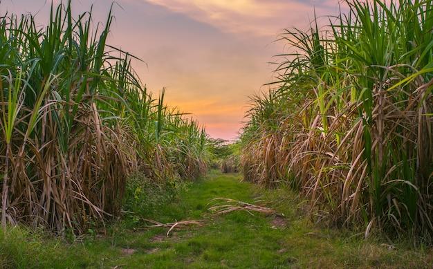 Suikerriet met van de de hemelfotografie van de landschapszonsondergang de aardachtergrond. Premium Foto