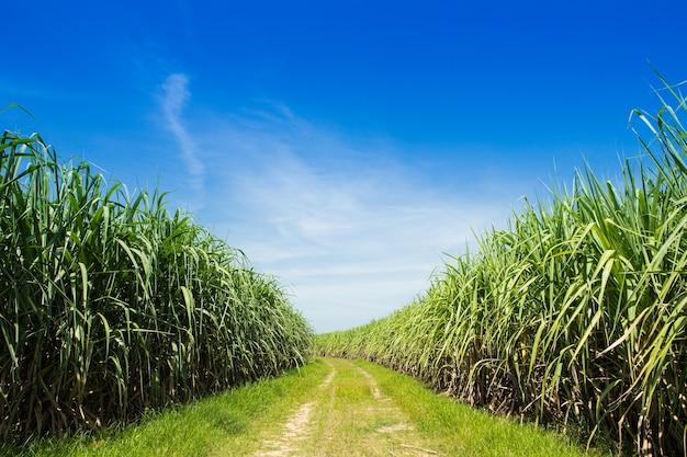 Suikerrietgebied en weg met witte wolk in thailand Premium Foto