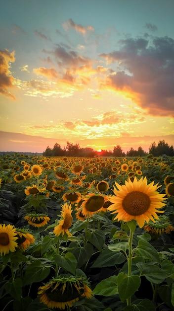 Sunlowers in het veld. Premium Foto