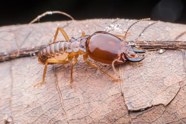 Super macro termiet die op gedroogd blad loopt Premium Foto