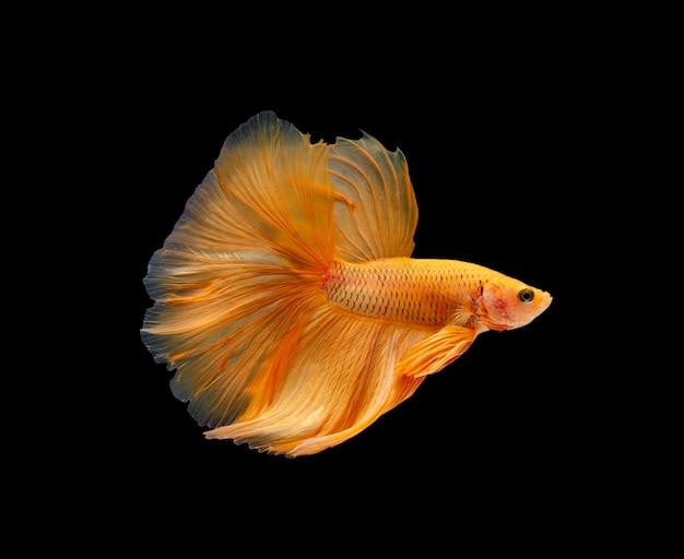 Super oranje halve maan siamese kempvissen geïsoleerd Premium Foto