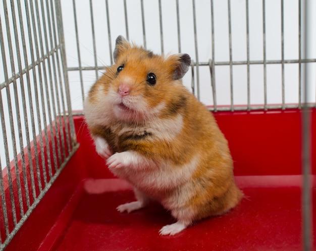 Syrische hamsterzitting in een kooi Premium Foto