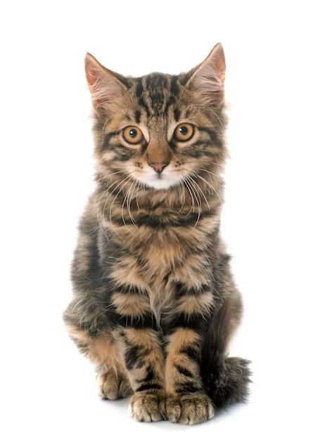 Tabby kitten Premium Foto