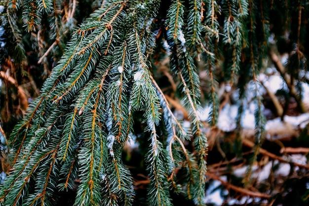 Tak van een denneboom met sneeuw erop Gratis Foto