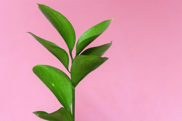 Tak van een groene decoratieve plant op een fel roze Premium Foto
