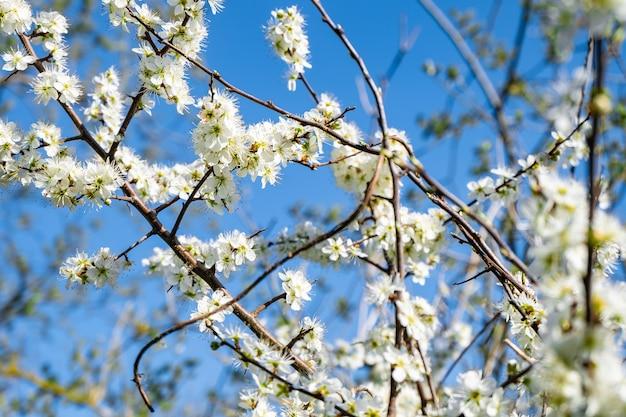 Takken van appelbloesem bloemen met een blauwe achtergrond Gratis Foto