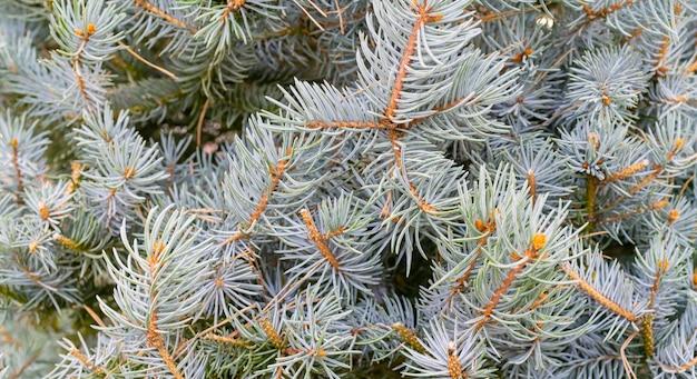 Takken van sparren - natuurlijke achtergrond. kerstvakantie. Premium Foto