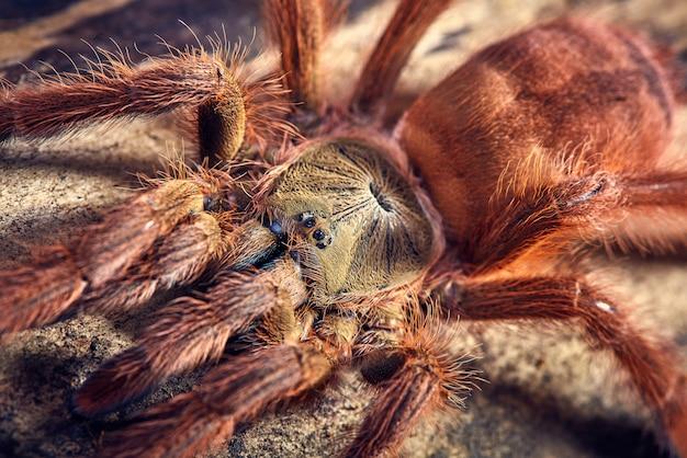 Tarantula tapinauchenius gigas Gratis Foto