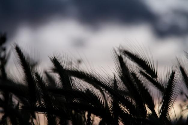 Tarwe veld silhouet Premium Foto