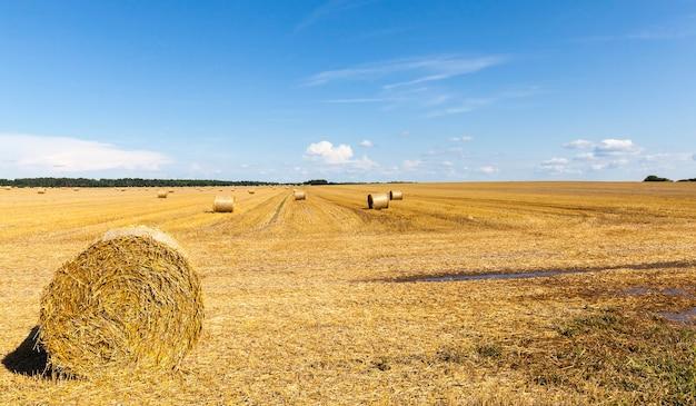Tarweharen op het veld met balen droog, gouden tarwestro, zomerlandschap zonnig helder weer Premium Foto