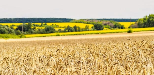Tarweveld op een achtergrond van een veld met zonnebloemen ... oren van gouden tarwe close-up. Premium Foto