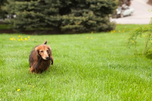 Tekkelhond die op het gras loopt. blij huisdier in de natuur. zomerstemming. Premium Foto