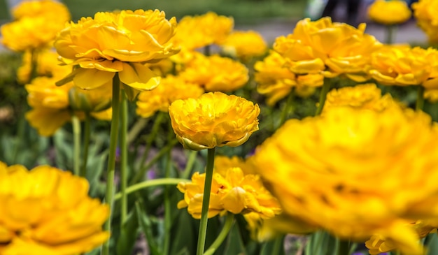 Terry gele tulpen op het bloembed, het concept van bloemen en de lente Gratis Foto