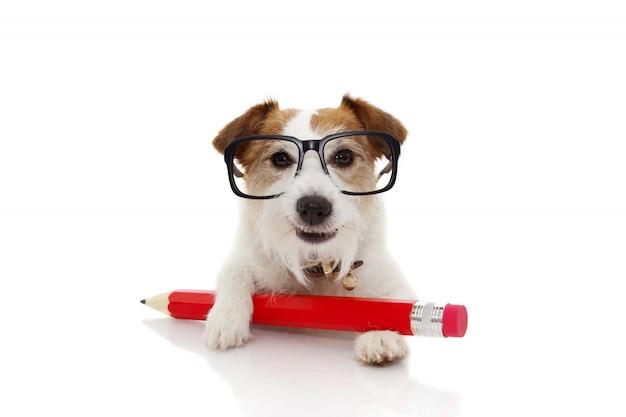 Terug naar school concept. grappige hond met een rode bril van potloodang. Premium Foto