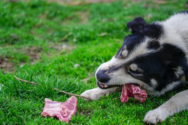 Tevreden en gelukkige hond die vlees op been eten dat op groen gras ligt Premium Foto