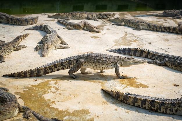 Thailand baby krokodil op zoek Premium Foto