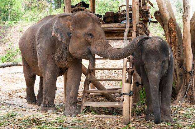 Thais moederolifant en kalf thailand, aziatische olifant Premium Foto