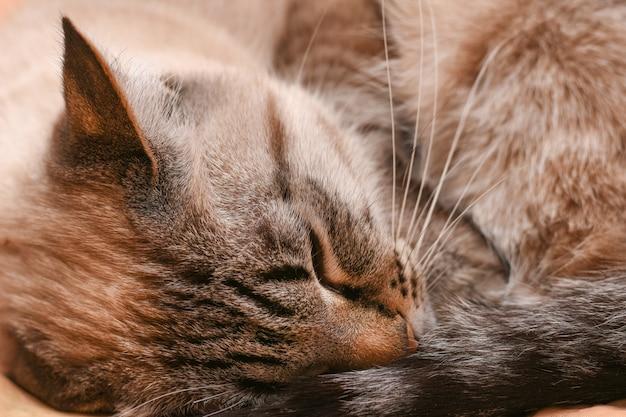 Thaise kattenslaap gekruld in een bal in ijzig weer Premium Foto