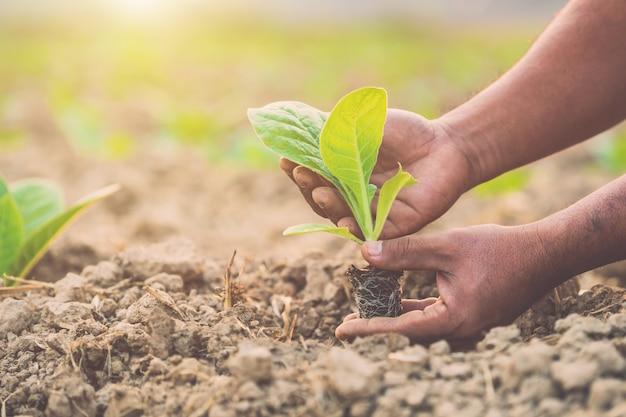 Thaise landbouwer die de groene tabaksplant plant Premium Foto